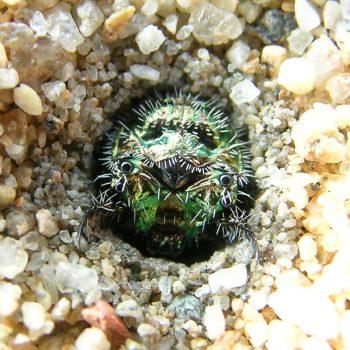 カワラハンミョウの幼虫