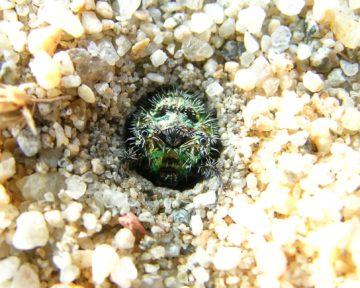 カワラハンミョウ幼虫の頭部